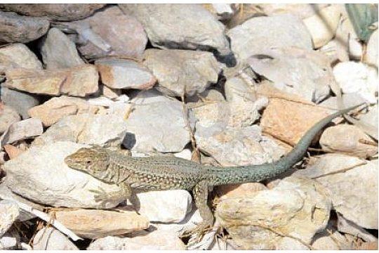 Eidechse auf Sa Dragonera Mallorca