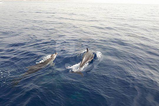 Bootsausflug zu den Delfinen vor Fuerteventura