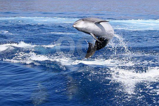 Delfine und Wale beobachten Gran Canaria