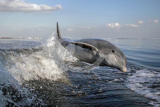 Springender Delfin vor Gran Canaria