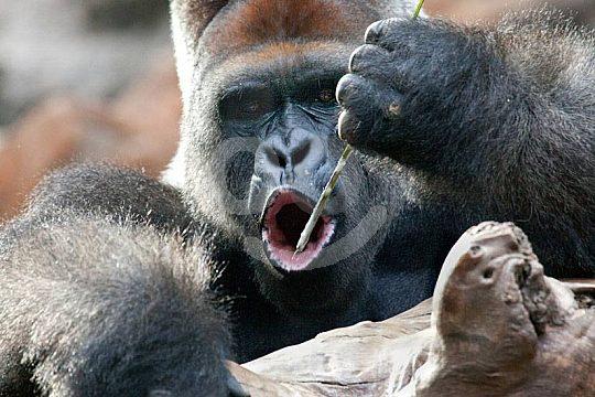 Gorillas sehen Loro Park ab Gran Canaria