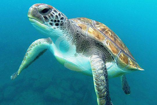 Schildkröte beim Tauchen im Mar Menor