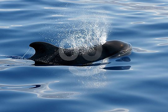 Wal- und Delfin-Beobachtung auf Teneriffa