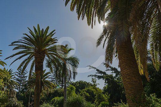 Palmen Santa Cruz de Tenerife