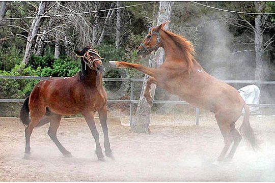 Schöne Pferde auf Mallorca