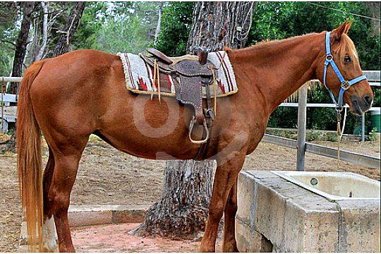 Pferd zum Reiten auf Mallorca