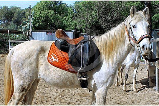 Pferd bereit zum Reiten auf Mallorca