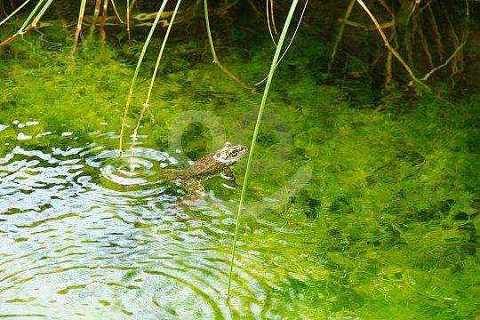 Frosch im Wasser beim Wandertour auf Rhodos