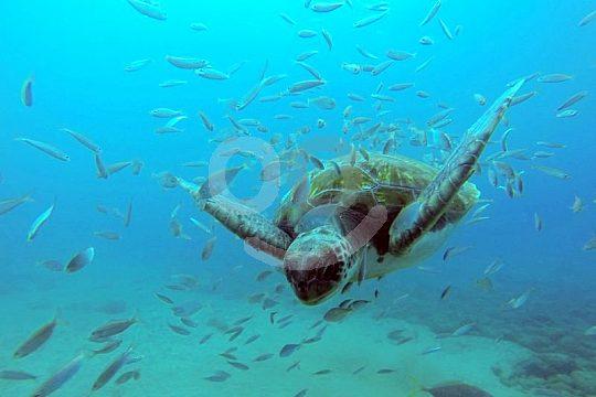 Mit Schildkröten tauchen auf Teneriffa