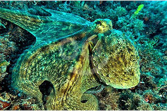 Tintenfisch beim Tauchen in Portocolom