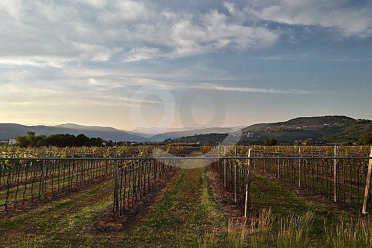 Weinberge in Valpolicella