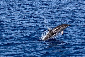 Delfin-springt-aus-dem-Wasser