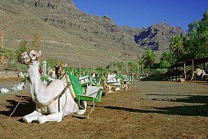 Kamelreiten im Tal der Palmen