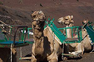 Kamele auf Lanzarote Rundfahrt