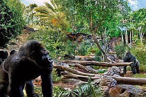 Gorillas im Loro Parque auf Teneriffa