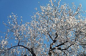 Mandelblüte Mallorca Rundreise: inselweite Verfügbarkeit