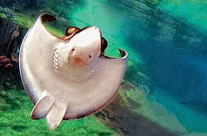 palma aquarium schwimmender rochen