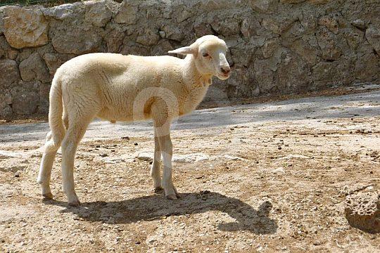 cordero de Es Verger Mallorca