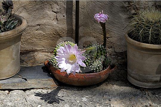 kaktus in hauseingang