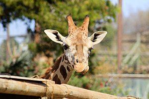 Giraffe Terra Natura Park in Murcia