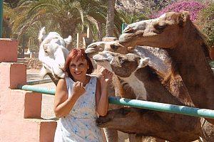 Aufgereihte Kamele auf Gran Canaria wollen zur Kamelsafari