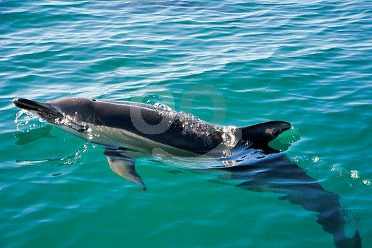 Delfin begleitet Boot an der Algarve