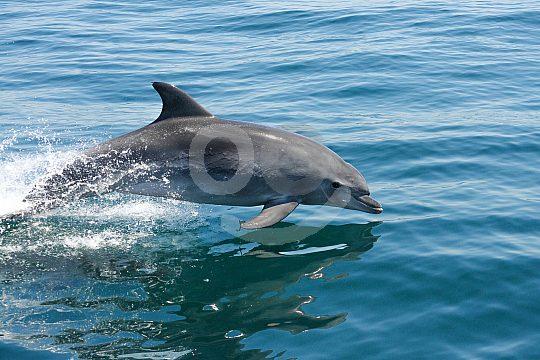 Delfin taucht wieder unter Wasser