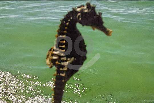Seahorses in the Algarve