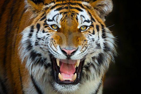 schöner Tiger im Benidorm Zoo