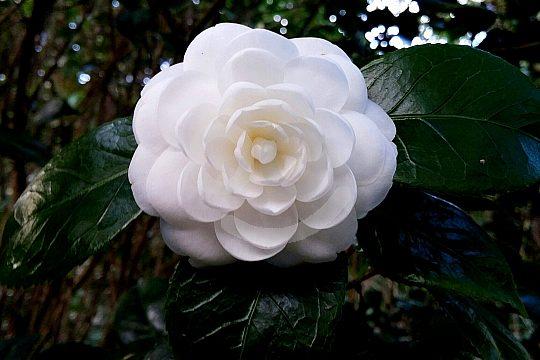 Flower in Pontevedra in Galicia