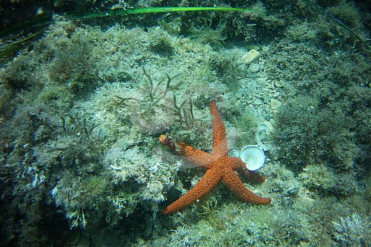 starfish while diving in Catalonia