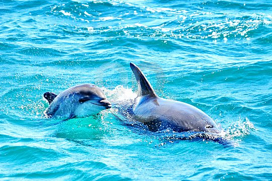 Dolphins in the Algarve