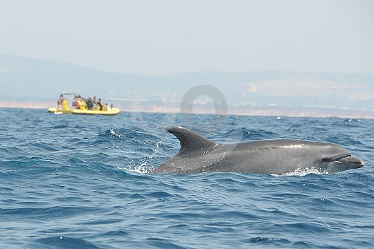 Dolphins sight seeing in the Algarve