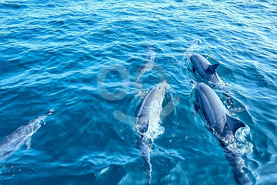 dolphins swim in front of a boat