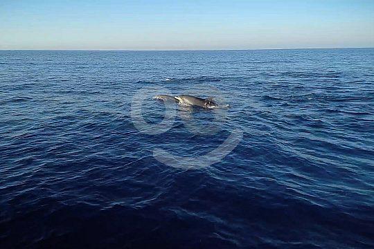 dolphin watching Mallorca
