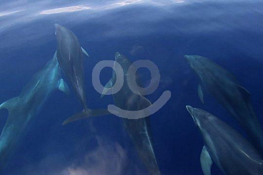 Mallorca dolphins Cala Ratjada