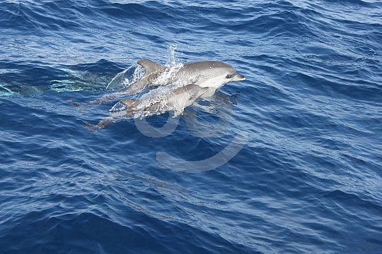 Cruising and dolphins off Lanzarote