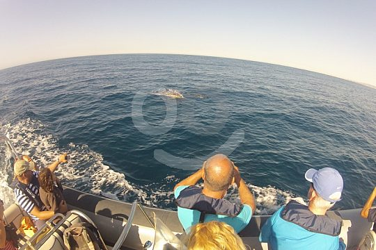 Dolphin Watching Group in the Algarve