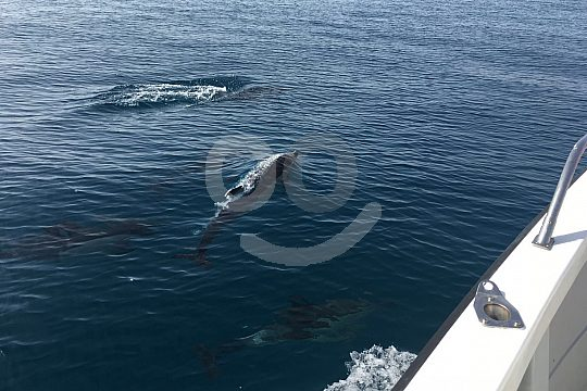 See dolphins by boat in the Costa del Sol