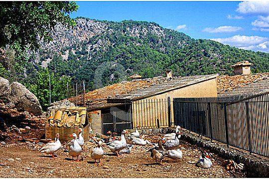Ducks on a finca in Mallorca