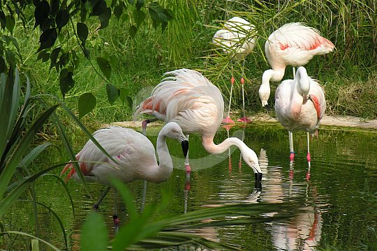 Flamingos in the Zoo in the Costa Blanca