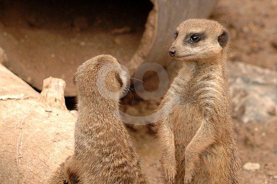 Meerkats in the Jungle Park of Tenerife