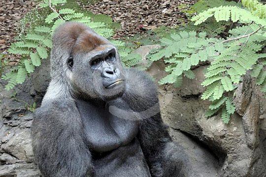 Tenerife Jungle Park gorilla