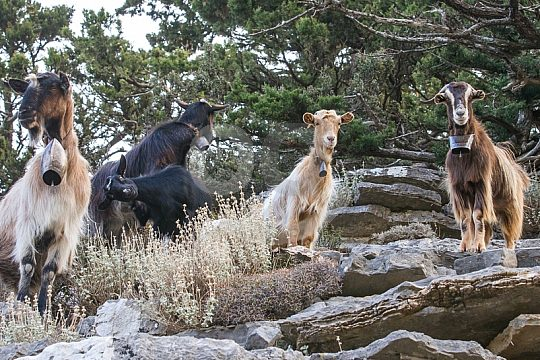 Goats during Jeep Tour in Crete