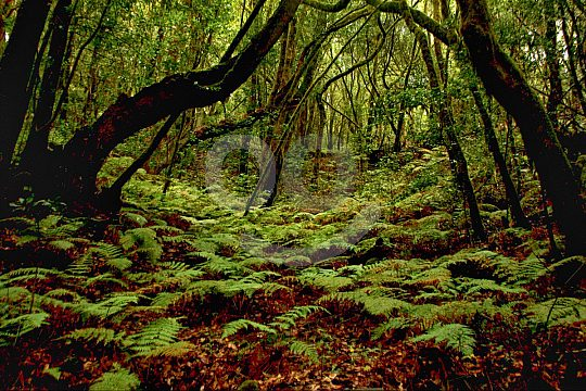 Laurel forest in La Gomera