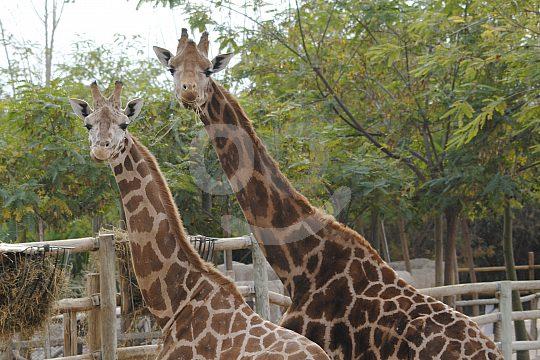Giraffes at the Safari Zoo