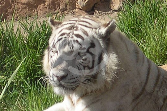 Jungle Park Teneriffa Tiger weiß
