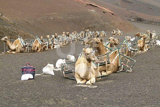 Camel riding in Lanzarote