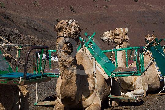 Camels on Lanzarote