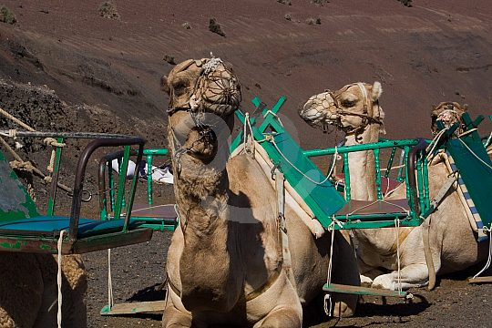 Camels on Lanzarote round trip